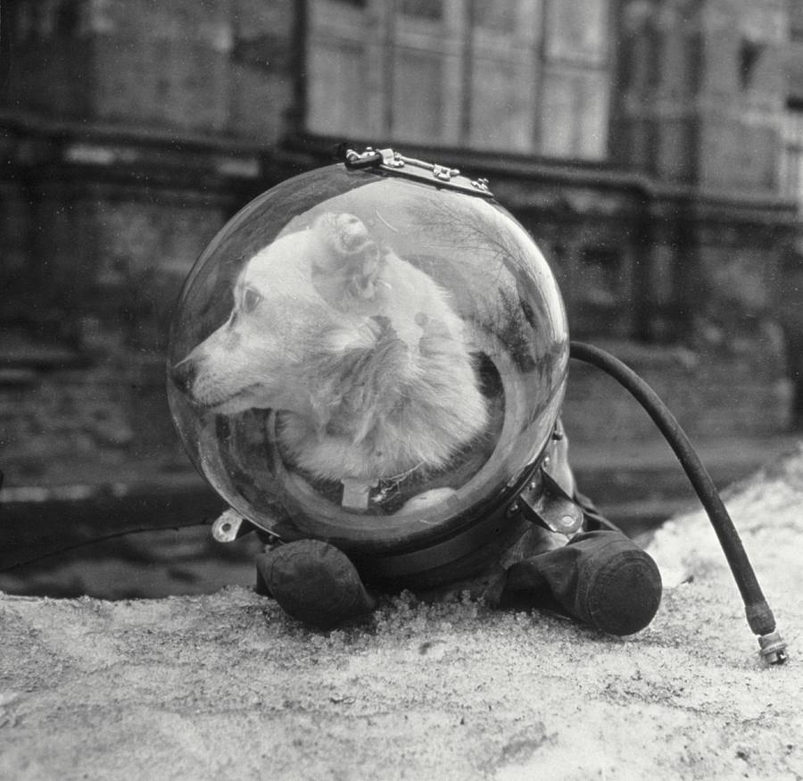 Скафандры для собак на фото — Белка) делались попроще: животным не требовалось выполнять сложную работу.