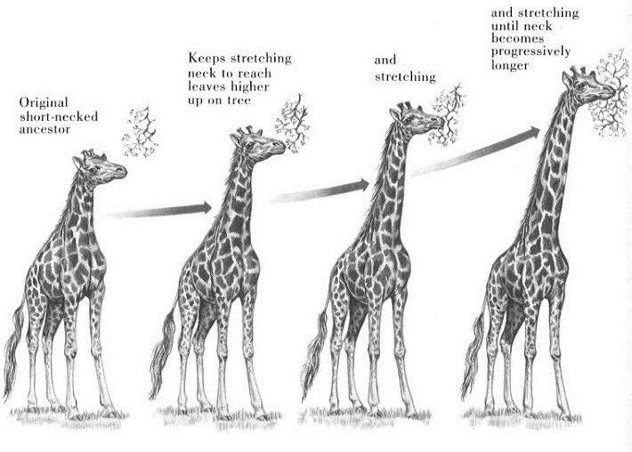 По Ламарку, если шею долго вытягивать, она станет длиннее. А если много махать руками, вырастут крылья