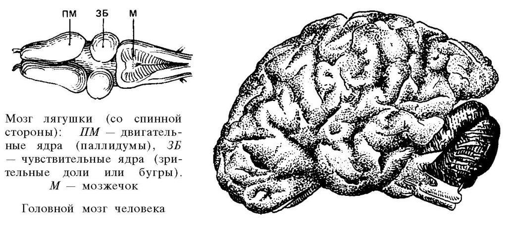 Сейчас интеллект мощнейших компьютеров лишь приближается к интеллекту лягушки, но для имитации человека этого хватает. На рисунке — мозг лягушки в сравнении с человеческим