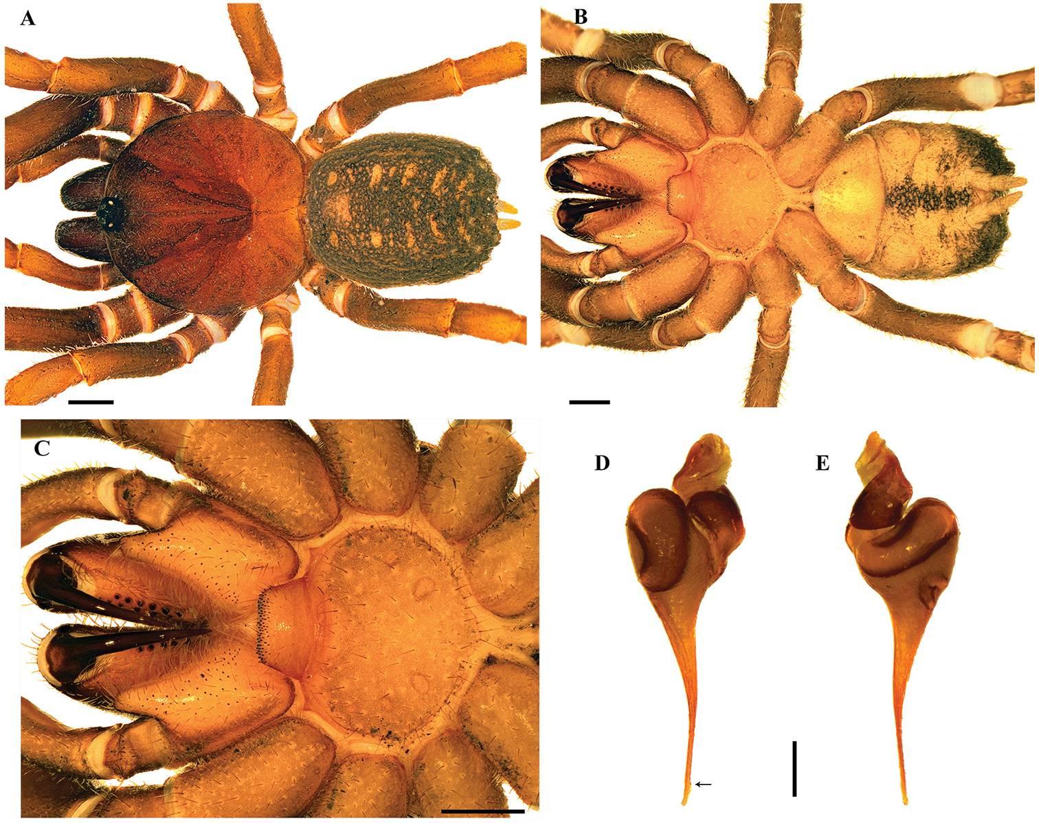 Учёные назвали ранее неизвестных пауков в честь штурмовиков из «Звёздных войн» 2