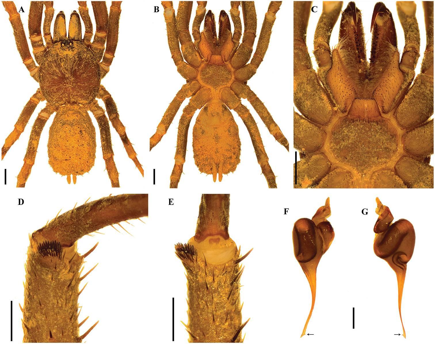 Учёные назвали ранее неизвестных пауков в честь штурмовиков из «Звёздных войн» 3