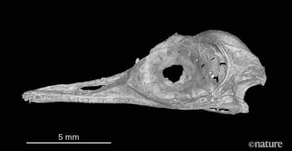 Вянтаре сохранились останки динозавра размером сколибри— это самый маленький динозавр извсех, что известны учёным 1