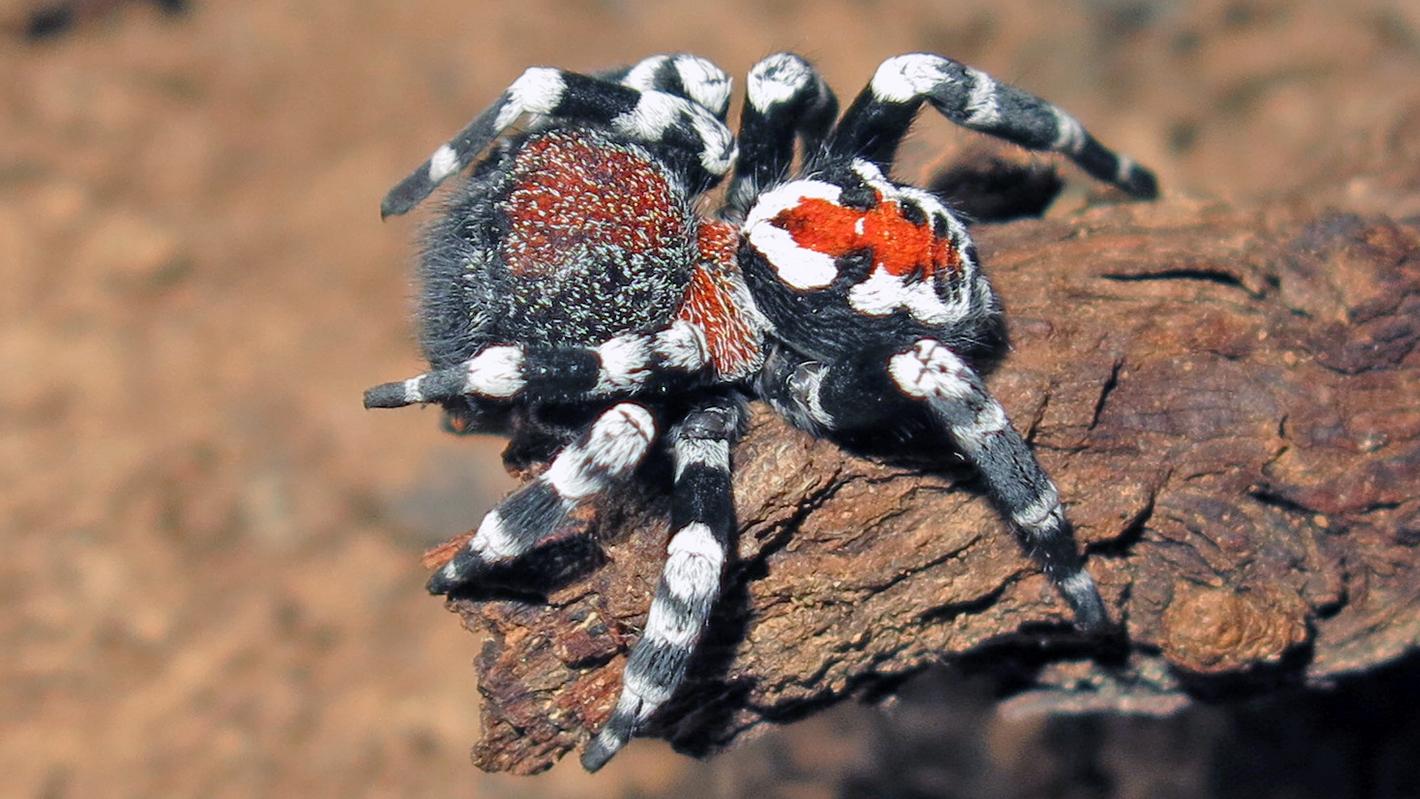 Новый вид паука из Ирана назвали в честь Хоакина Феникса — он сильно похож на Джокера!